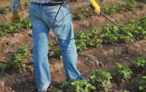 Весняна обробка полуниці від хвороб і шкідників