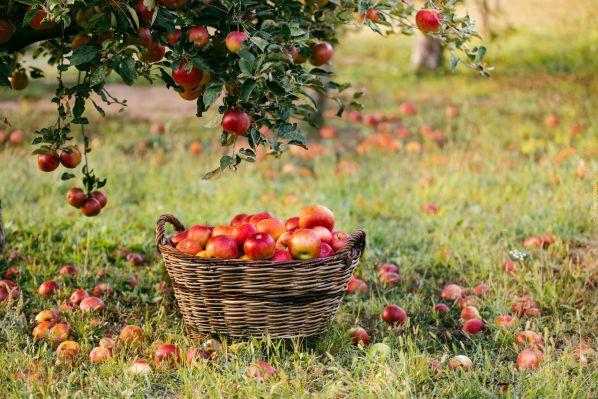 Коли підгодовувати яблуню навесні і влітку