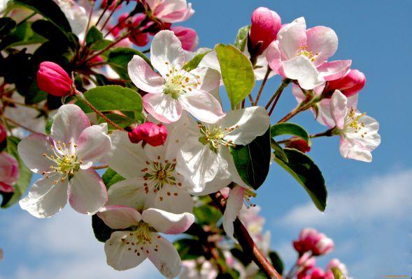Чим навесні і влітку підгодувати яблуні