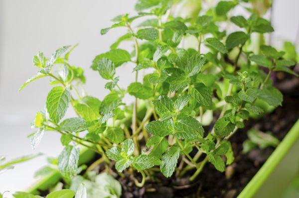 Догляд і правила вирощування м'яти в домашніх умовах