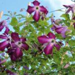 Як виростити клематиси з насіння: правила і схеми посіву на розсаду, у відкритий грунт