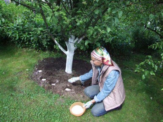 Навіщо яблуні потрібна весняна підгодівля