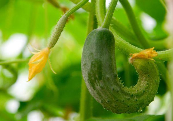 Огірки ростуть криві (гачком): що робити, чим підгодувати?