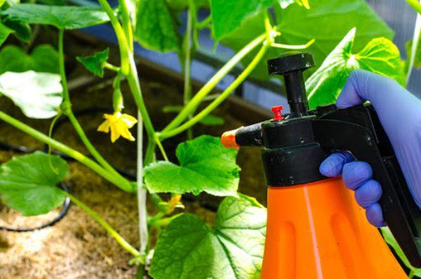 Що робити, якщо огірки ростуть кривими (гачком) в теплиці і відкритому грунті