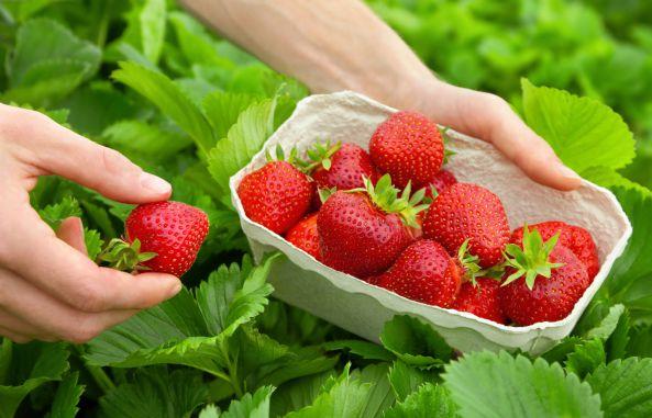 Підживлення полуниці (садової суниці) навесні