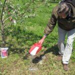 Підгодівля яблуні навесні і влітку: добрива, схеми, правила, способи