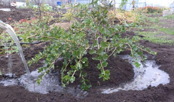 Полив агрусу (аґрусу) весною