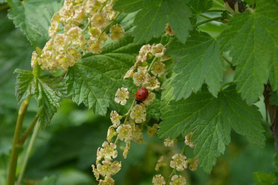 Чим підгодувати навесні і влітку смородину