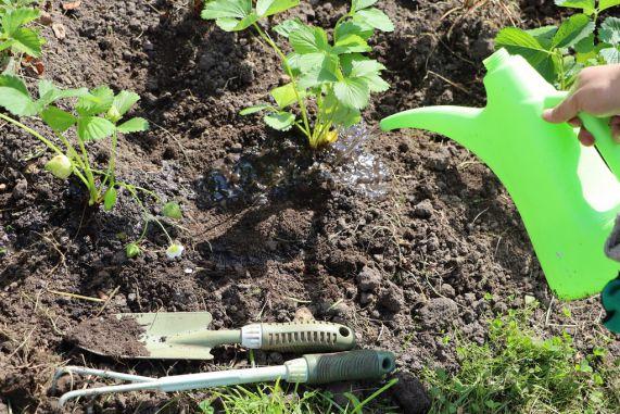 Основні правила підкормки полуниці весною