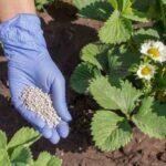 Підживлення полуниці (садової суниці) навесні: краще добриво, правила і схеми