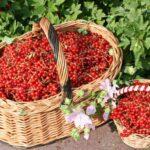 Весняна підгодівля смородини для великого врожаю: як і коли удобрювати?