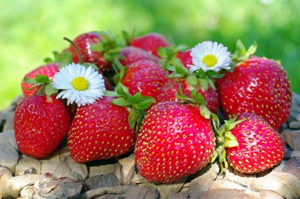Як і чим обробити полуницю від хвороб і шкідників навесні