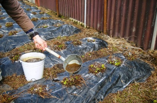 Які рослини можна підгодовувати курячим послідом?