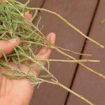 Розмноження лаванди живцями навесні, влітку і восени: правила і терміни живцювання
