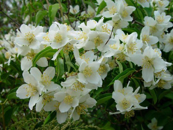 Бузок (садовий жасмін)