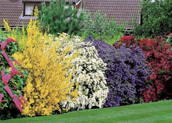 Які декоративно-квітучі чагарники можна посадити на дачі?