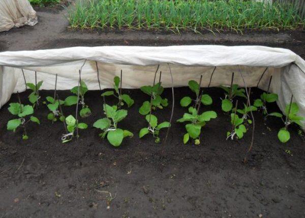 Пересадка розсади баклажанів у відкритий грунт і теплицю