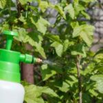 Обробка кущів смородини навесні від хвороб і шкідників: як і коли правильно обприскати?