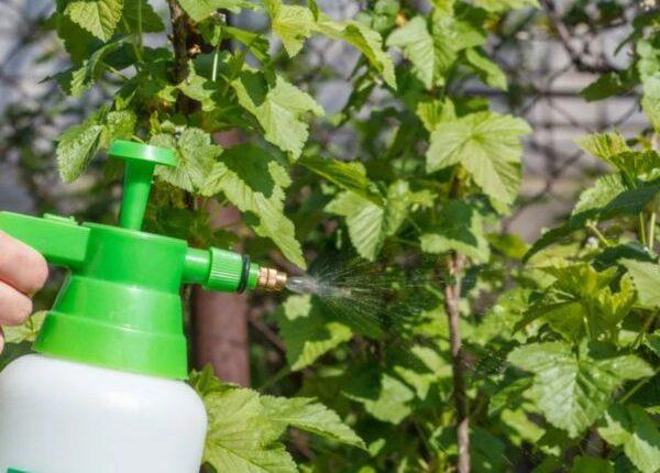 Обробка кущів смородини навесні від хвороб і шкідників