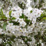 Відсутність врожаю вишні при рясному цвітінні: причини і вирішення проблеми