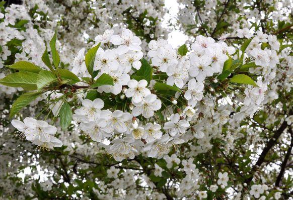 Відсутність врожаю вишні при рясному цвітінні