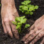 Висаджування розсади селери (кореневого і черешкового) у відкритий грунт: терміни, правила, схема