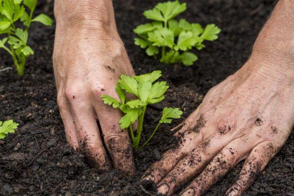 Висаджування розсади селери (кореневого і черешкового) у відкритий грунт