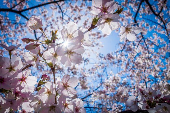 Чому вишня цвіте, але не плодоносить: основні причини