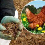 Як підгодовувати рослини курячим послідом: як приготувати (пропорції) і використовувати для добрива