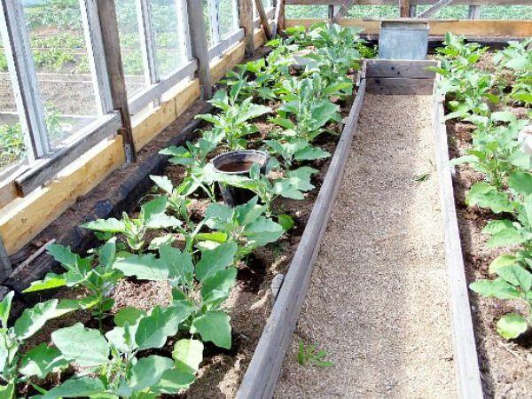 Пересадка розсади баклажанів у відкритий грунт