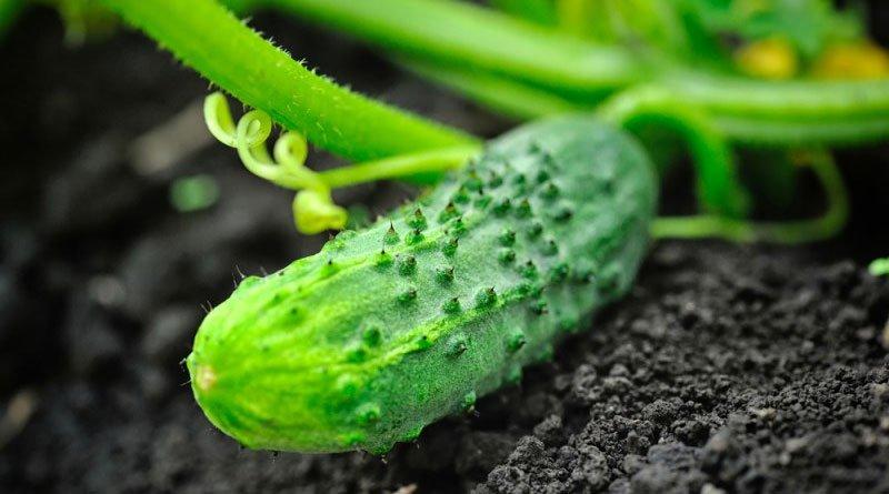 Особливості підживлення огірків у відкритому грунті