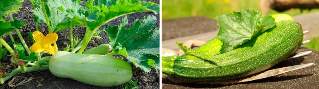 Як вирощувати кабачки у відкритому грунті?
