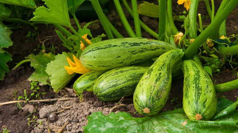 Кабачки: посадка, вирощування і догляд у відкритому грунті