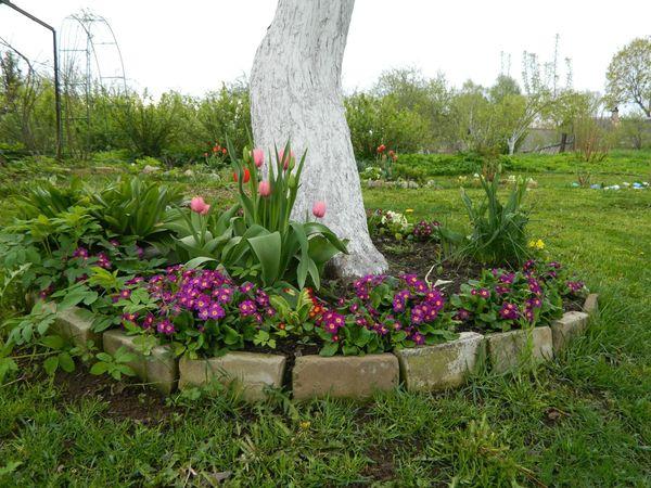 Які декоративні рослини і квіти можна посадити в пристовбурні кола плодових дерев?
