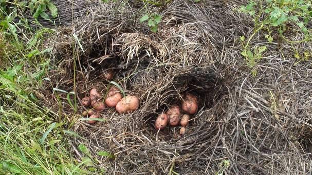Посадка картоплі під солому або сіно