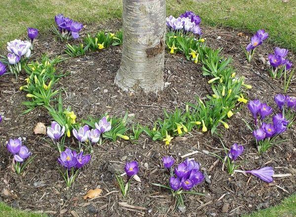 Які декоративні рослини можна посадити в пристовбурні кола плодових дерев?