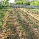 Технологія вирощування картоплі під соломою або сіном: основні правила і нюанси