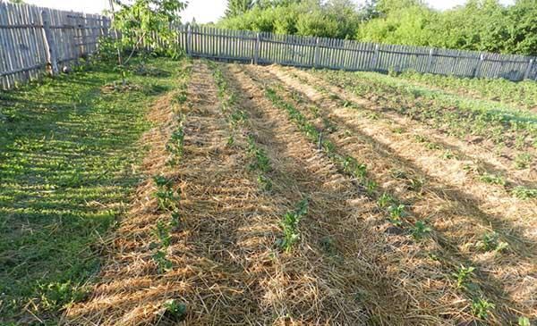 Технологія вирощування картоплі під соломою або сіном