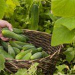 Особливості підживлення огірків у відкритому грунті: огляд добрив і їх застосування