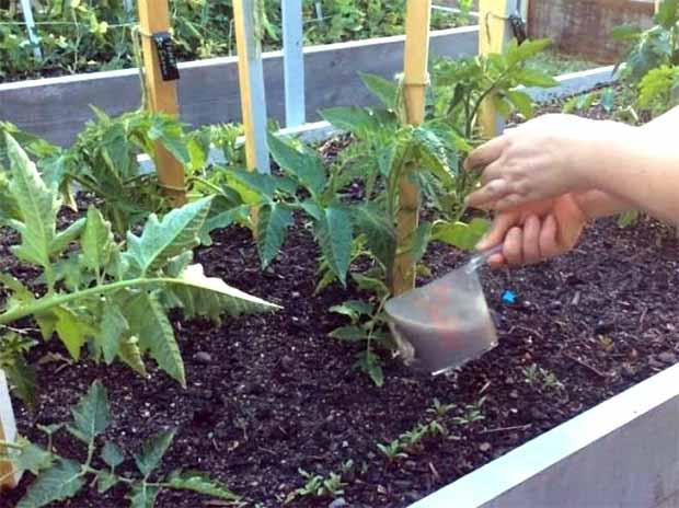 Як підгодовувати томати дріжджами