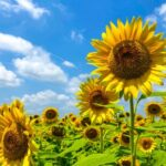 Коли і як садити насіння соняшнику у відкритий грунт навесні?