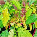 Сохне листя у помідорів: причини і шляхи вирішення проблеми