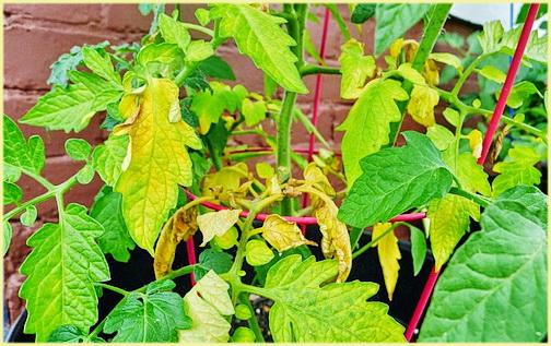 Що робити, якщо у помідорів листя сохне і жовтіє