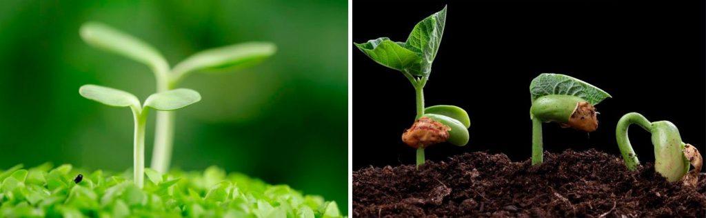 Чому не сходить насіння?