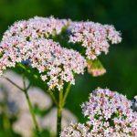 Валеріана: особливості вирощування в саду