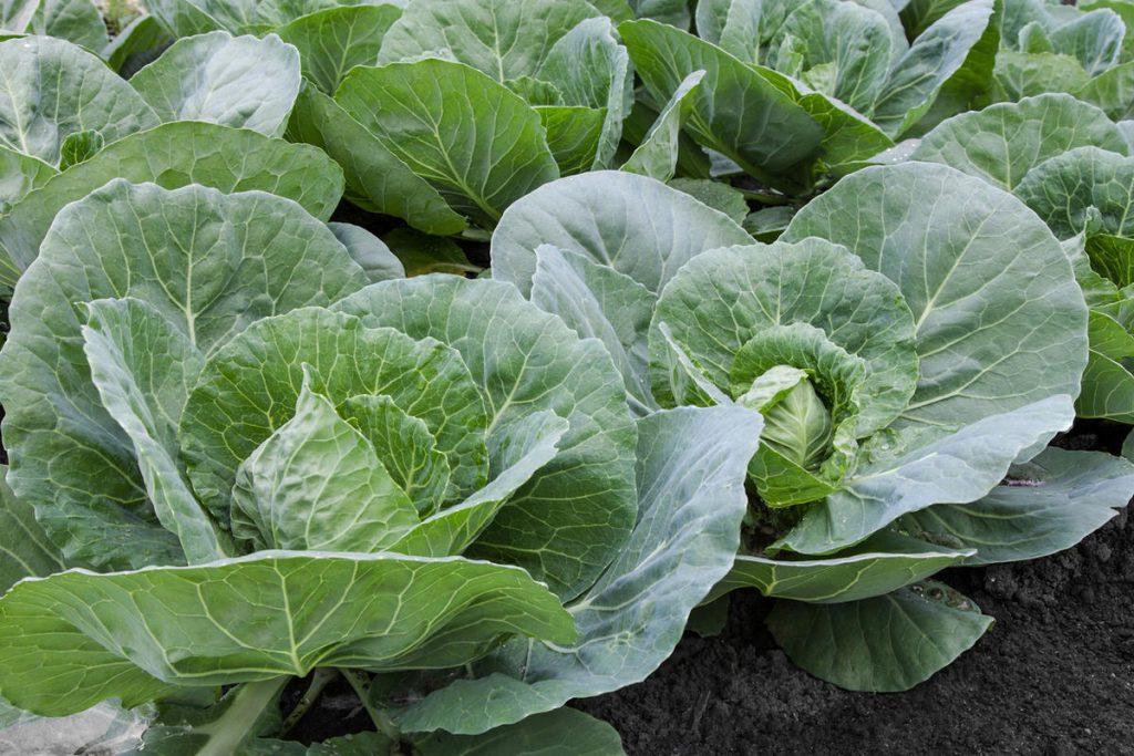 Чим підгодовувати капусту?