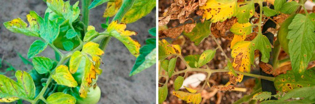 Сохне листя у помідорів: причини