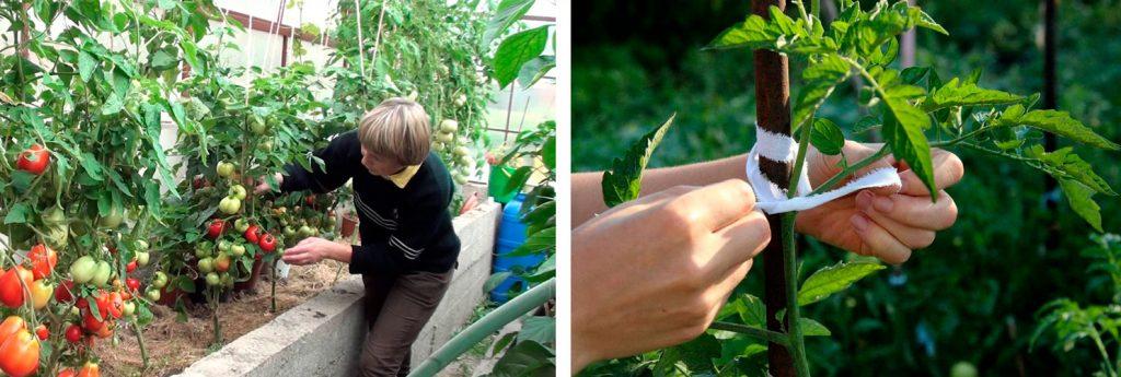 Правила догляду за помідорами: поради досвідчених садівників