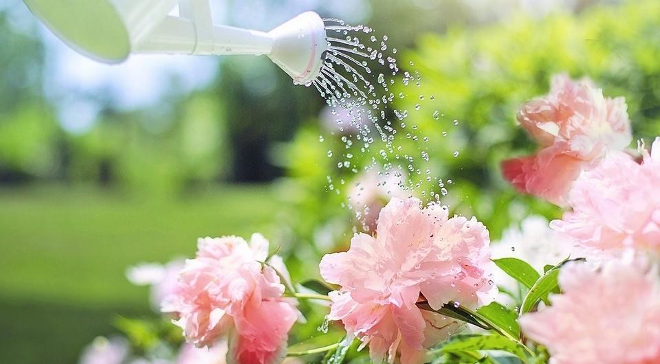 Помилки при поливі троянди