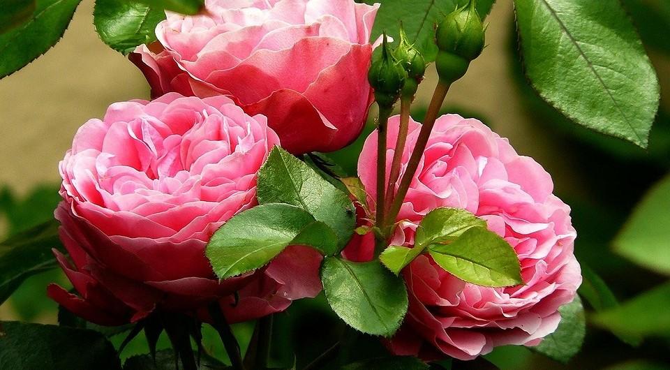 Троянди без квіток: причини, чому троянди не цвітуть?